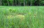 Sumpf-Schachtelhalm