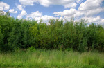 Weide in einer Kurzumtriebsplantage