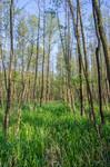 aufgeforsteter Erlenbruchwald