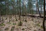 alter Torfstich mit Kiefern und Birken im NSG Bullenmoor
