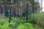 zugewachsender alter Waldweg mit Kiefern und Birken beidseitig