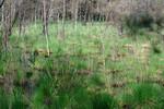 absterbende Kiefern und Birken bei flurgleichen Wasserständen
