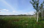 offene Landschaft mit Wollgräsern und teilw. abgestorbenen Birken