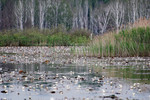 offene Wasserfläche mit Seerosen und Schilf