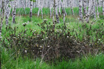 Sumpfporst vor Birkenbruchwald