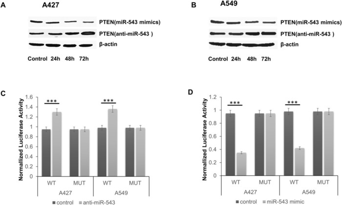 miR-543 is up-regulated in gefitinib-resistant non-small cell lung cancer and promotes cell proliferation and invasion via phosphatase and tensin homolog
