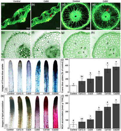 Signalling cross-talk between nitric oxide and active oxygen in Trifolium repens L. plants responses to cadmium stress