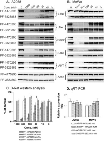 A novel class of specific Hsp90 small molecule inhibitors demonstrate in vitro and in vivo anti-tumor activity in human melanoma cells