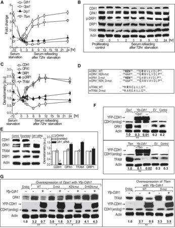 Mitochondrial Dynamics, Biogenesis, and Function Are Coordinated with the Cell Cycle by APC/CCDH1