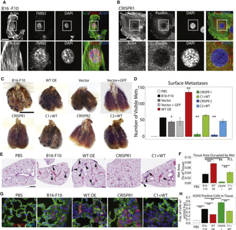 FMN2 Makes Perinuclear Actin to Protect Nuclei during Confined Migration and Promote Metastasis