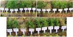 Development of Gene-Pyramid Lines of the Elite Restorer Line, RPHR-1005 Possessing Durable Bacterial Blight and Blast Resistance