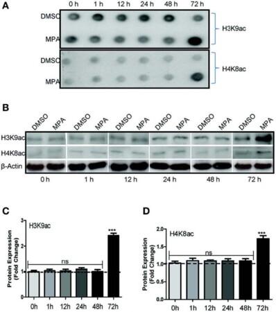 Immunosuppressant MPA Modulates Tight Junction through Epigenetic Activation of MLCK/MLC-2 Pathway via p38MAPK