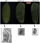 OsPIE1, the Rice Ortholog of Arabidopsis PHOTOPERIOD-INDEPENDENT EARLY FLOWERING1, Is Essential for Embryo Development