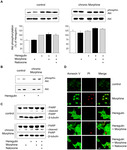 Chronic Morphine Treatment Attenuates Cell Growth of Human BT474 Breast Cancer Cells by Rearrangement of the ErbB Signalling Network