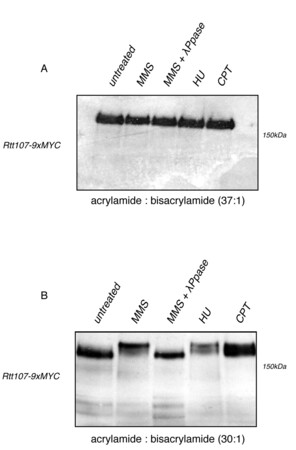 Rtt107 Phosphorylation Promotes Localisation to DNA Double-Stranded Breaks (DSBs) and Recombinational Repair between Sister Chromatids