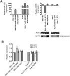miR-122 Regulates Tumorigenesis in Hepatocellular Carcinoma by Targeting AKT3