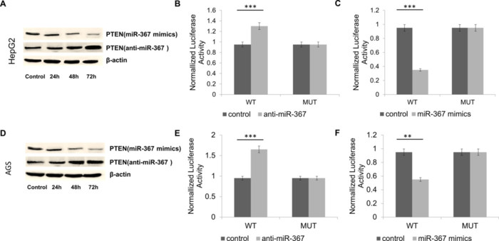 miR-367 promotes proliferation and invasion of hepatocellular carcinoma cells by negatively regulating PTEN